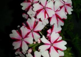 producator-flori (28)