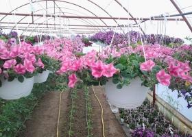 producator-flori (3)