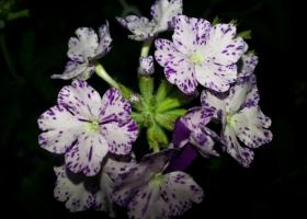 producator-flori (30)