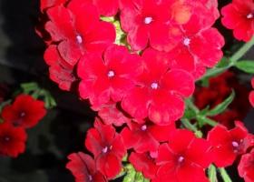 producator-flori (36)