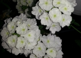 producator-flori (39)