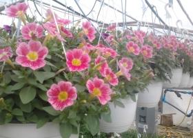 producator-flori (43)