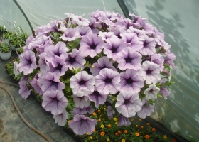 producator-flori