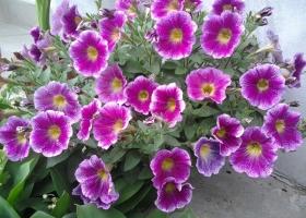 producator-flori (12)