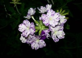 producator-flori (31)